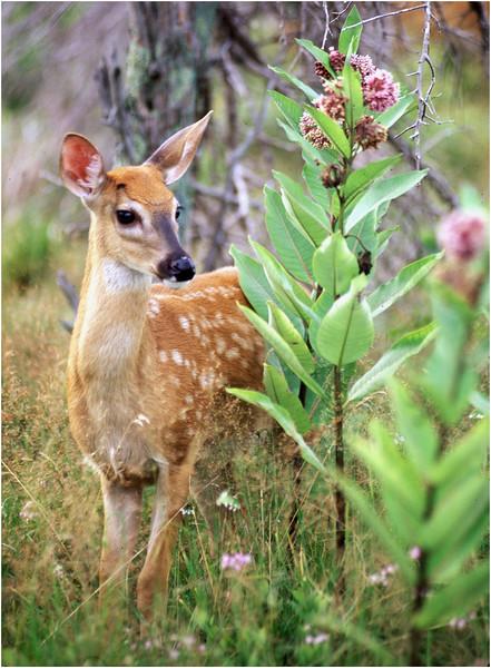 Shenendoah VA Big Meadow Whitetail Fawn 1 July 1996
