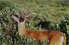 Shenendoah VA Big Meadow Whitetail Buck 15 July 1996