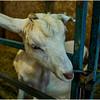 Schaghticoke Fair Goat 2 September 2016