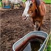 Vermont Arlington Horses 5 August 2009