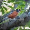 Delmar NY Backyard Robin 1 May 2020