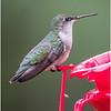 New York Delmar Backyard Ruby Throated Hummingbird Female 7 May2020
