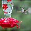 New York Delmar Backyard Ruby Throated Hummingbird Female 13 May2020