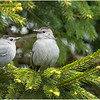 New York Delmar Gray Catbirds 2 May 2020
