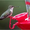 New York Delmar Backyard Ruby Throated Hummingbird Female 6 May2020