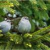 New York Delmar Gray Catbirds 1 May 2020