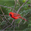 New York Delmar Mr  Cardinal 1 May2020