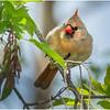New York Delmar Mrs  Cardinal 3 May2020