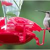 New York Delmar Backyard Ruby Throated Hummingbird Female 16 May2020