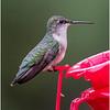 New York Delmar Backyard Ruby Throated Hummingbird Female 5 May2020