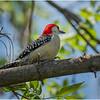 New York Delmar Red Belly Woodpecker 6 May 2020