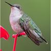 New York Delmar Backyard Ruby Throated Hummingbird Female 12 May2020