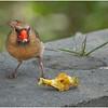 New York Delmar Mrs  Cardinal 6 May2020