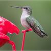 New York Delmar Backyard Ruby Throated Hummingbird Female 10 May2020