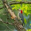 New York Delmar Red Belly Woodpecker 4 May 2020