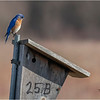 New York Albany County Slingerlands Eastern Bluebird 1 March 2021