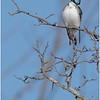 New York Albany County Slingerlands Tree Swallow Male 8 March 2021