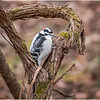 New York Cohoes Peebles Island Hairy Woodpecker 4 December 2020