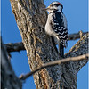New York Albany County Delmar Hairy Woodpecker 1 March 2021