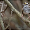 New York Albany County Delmar White Throated Sparrow 4 March 2021