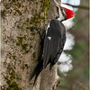 New York Albany County Delmar Pileated Woodpecker Female 11 March 2021