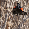 New York Albany County Slingerlands Red Winged Blackbird 5 March 2021