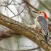 New York Albany County Delmar Red Belly Woodpecker 2 March 2021