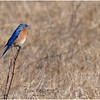New York Albany County Slingerlands Eastern Bluebird 3 March 2021