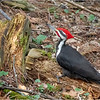 New York Albany County Delmar Pileated Woodpecker Male 4 March 2021
