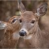 New York Waterford Peebles Island Whitetail Doe 27 November 2020