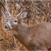 New York Waterford Peebles Island Whitetail Buck 14 November 2020