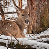 New York Waterford Peebles Island Whitetail Doe 6 January 2021