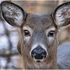 New York Waterford Peebles Island Whitetail Doe 25 January 2021