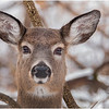 New York Waterford Peebles Island Whitetail Doe 8 January 2021