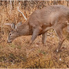 New York Waterford Peebles Island Whitetail Buck 8 November 2020