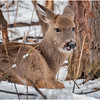 New York Waterford Peebles Island Whitetail Doe 7 January 2021