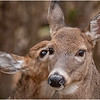New York Waterford Peebles Island Whitetail Doe 28 November 2020