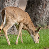 New York Slingerlands Five Rivers Whitetail Deer 2 April 2021