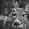 New York Waterford Peebles Island Whitetail Doe 28 BW November 2020