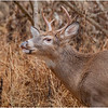 New York Waterford Peebles Island Whitetail Buck 12 November 2020