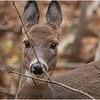 New York Waterford Peebles Island Whitetail Doe 11 November 2020