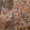 New York Waterford Peebles Island Whitetail Buck 5 November 2020