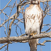 New York Albany County Slingerlands Red Tailed Hawk 7 March 2021