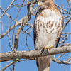New York Albany County Slingerlands Red Tailed Hawk 19 March 2021