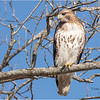 New York Albany County Slingerlands Red Tailed Hawk 21 March 2021