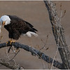 New York Cohoes American Bald Eagle 28 January 2021
