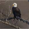 New York Cohoes American Bald Eagle 1600 21 January 2021