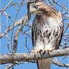 New York Albany County Slingerlands Red Tailed Hawk 15 March 2021