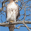 New York Albany County Slingerlands Red Tailed Hawk 23 March 2021