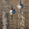New York Albany County Slingerlands Canada Geese 7 March 2021